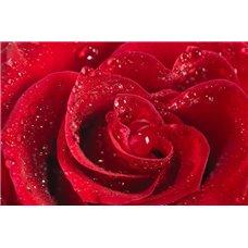 Картина на холсте по фото Модульные картины Печать портретов на холсте Красная роза - Фотообои цветы|розы