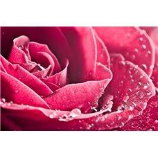 Картина на холсте по фото Модульные картины Печать портретов на холсте Алая роза - Фотообои цветы|розы