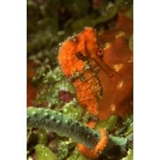 Фотообои - Морской конек