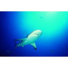 Фотообои - Белая акула