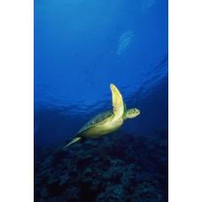 Фотообои - Морская черепаха