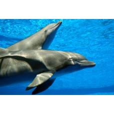 Фотообои - Друзья человека - дельфины