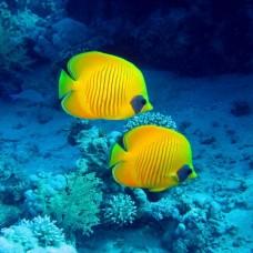 Фотообои - Желтые рыбки