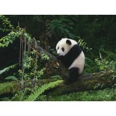 Фотообои - Панда на ветке