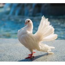 Фотообои - Белый голубь