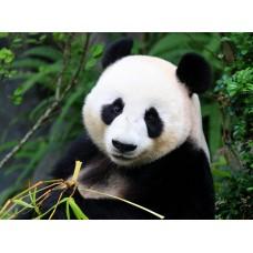 Фотообои - Панда на дереве