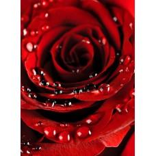 Фотообои - Капли на розе