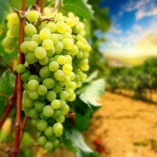 Фотообои - Виноградники Франции