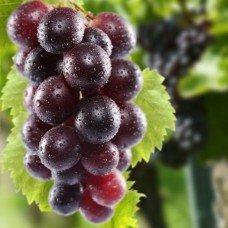 Фотообои - Красный виноград