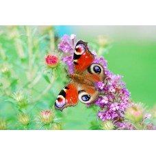 Фотообои - Бабочка