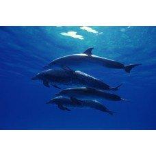 Фотообои - Косяк дельфинов