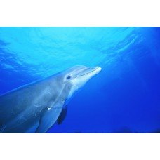 Фотообои - Дельфин услышал голоса