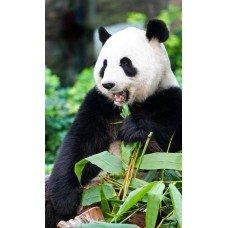 Фотообои - Панда ест бамбук
