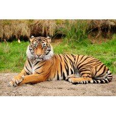 Фотообои - Тигр