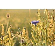 Фотообои - Луговой цветок